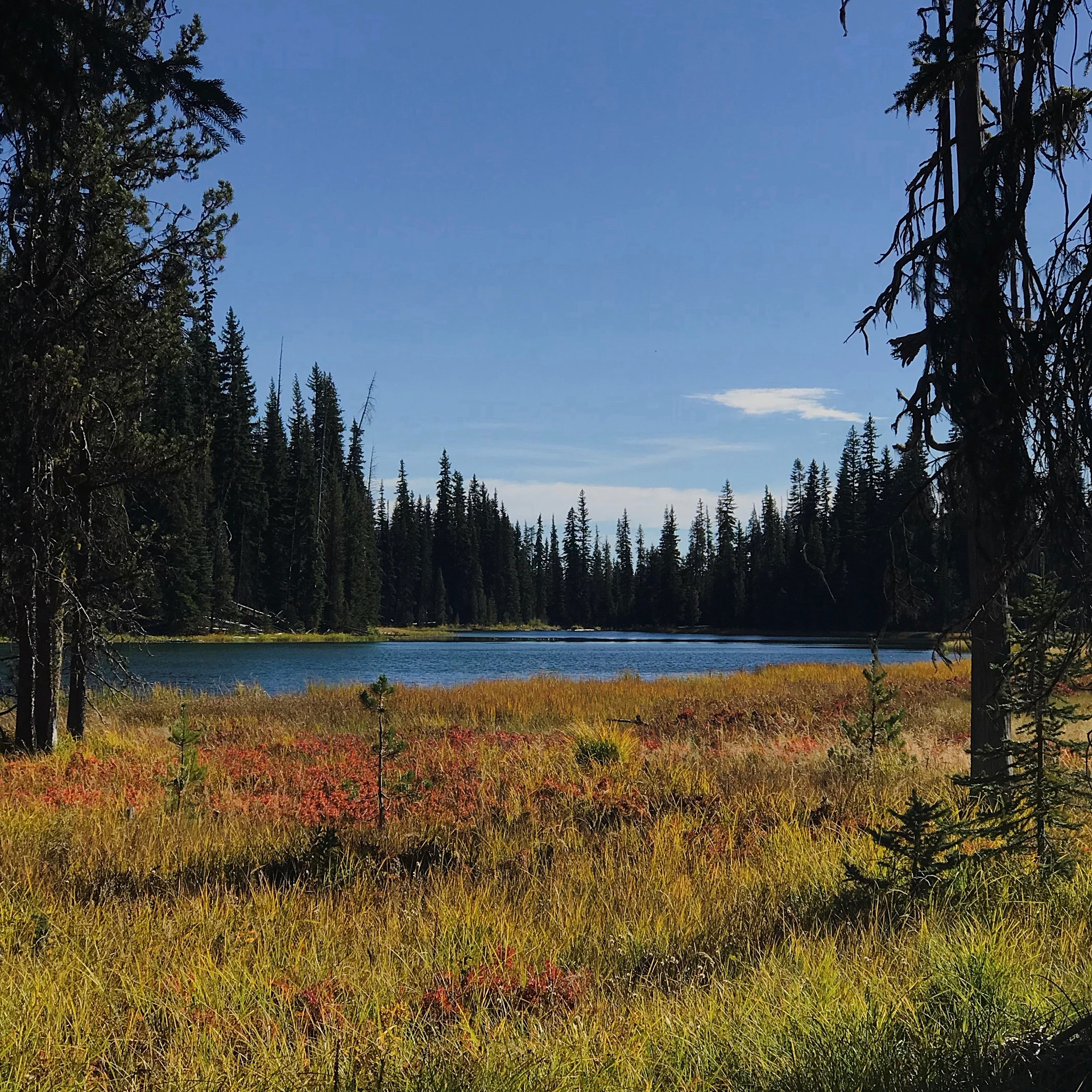 The Deschutes River flows through the forest out of Blue Hole near its headwaters with a meadow filled with fall colors in the foreground on a beautiful fall day.