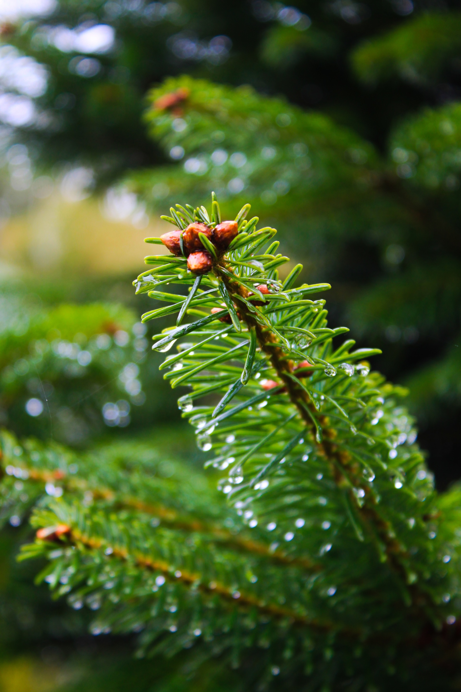 Close-up of a pine tree branch