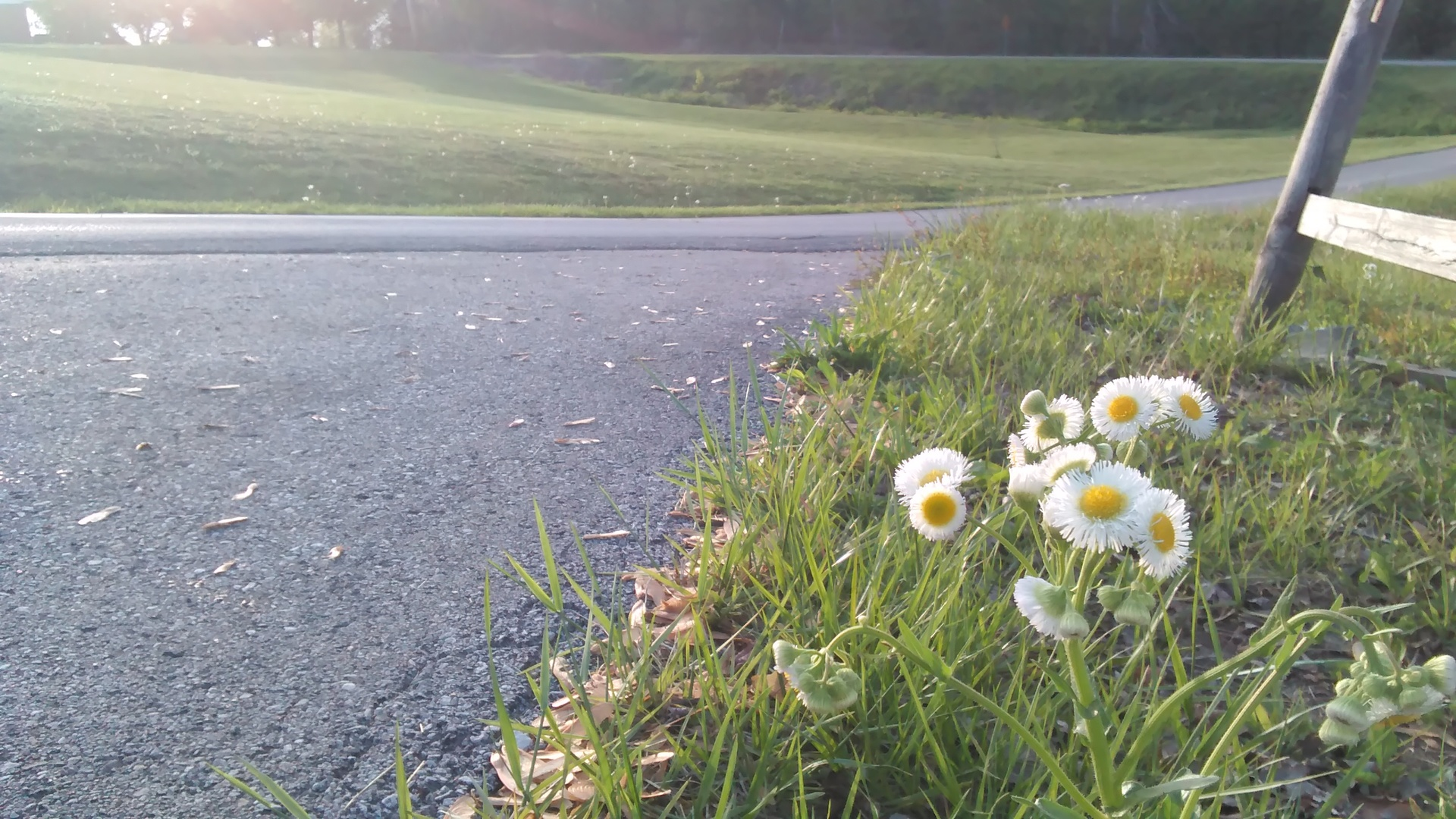 Roadside Daisies | codenamesailorearth, environment, flower, grass
