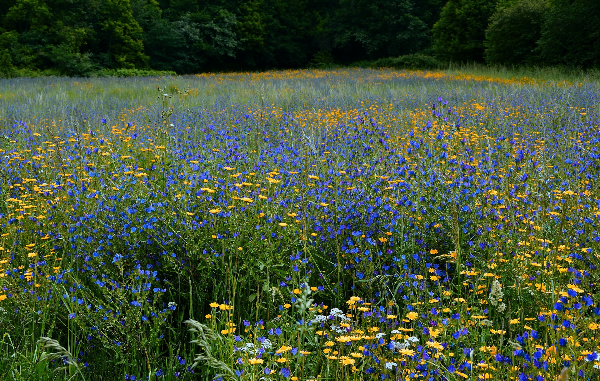 Meadow   manusfer, bloom, countryside, field