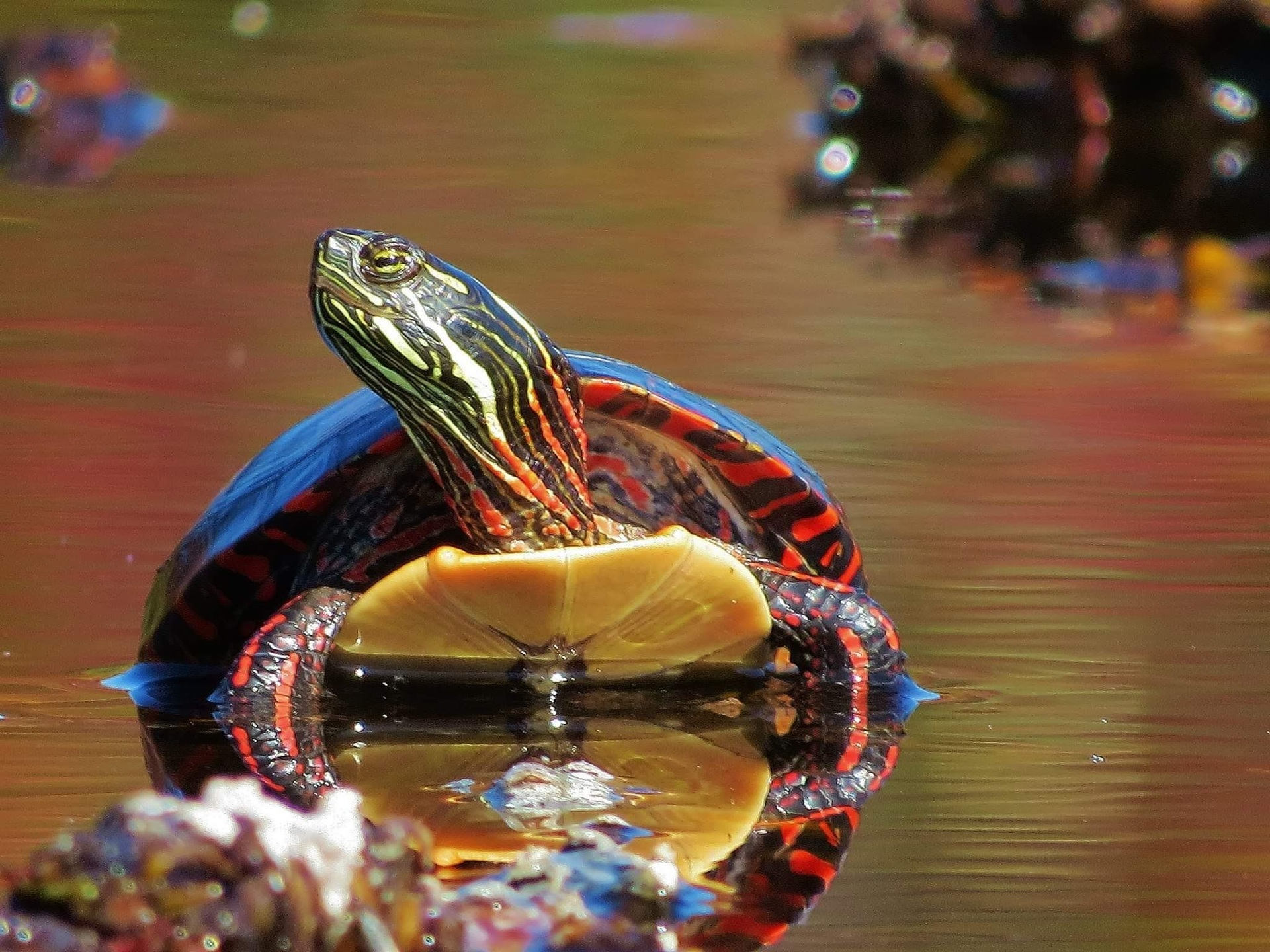 Painted Turtle chilling | julie.poster.hebda, color, outdoors, nobody