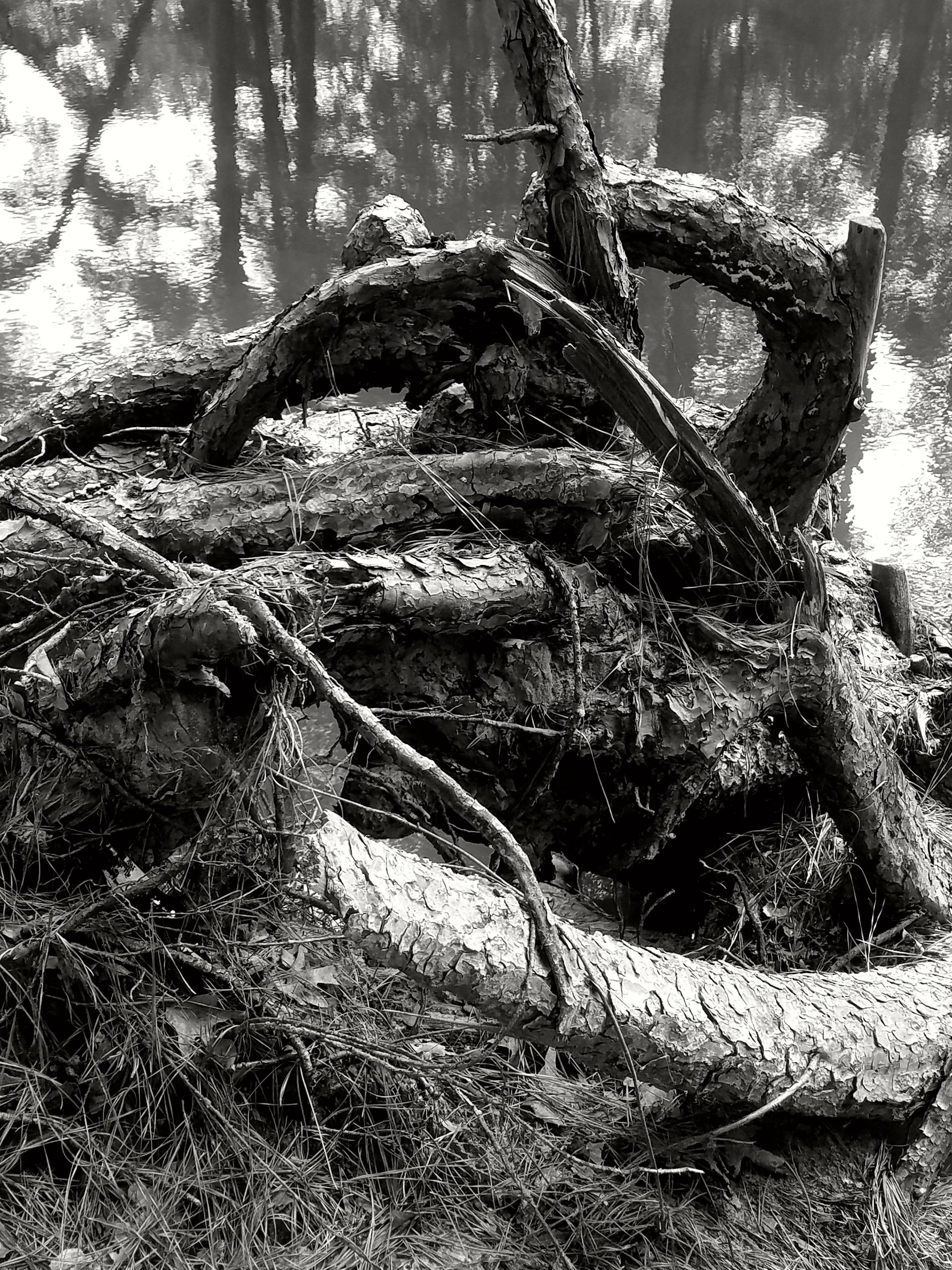 knarly woods   mjmearns, tree, roots, hiking