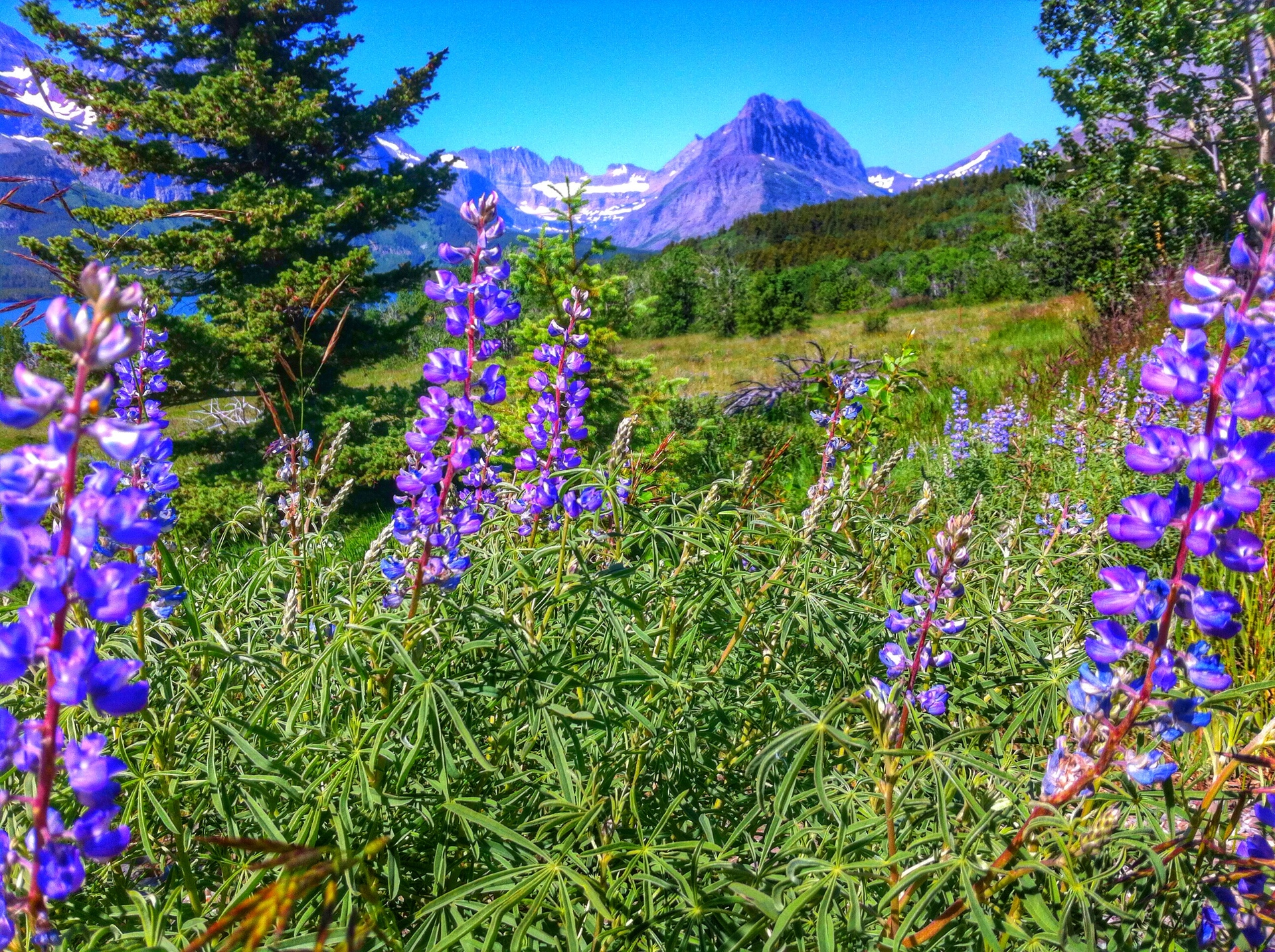 lupine | nature, flower, hayfield, summer