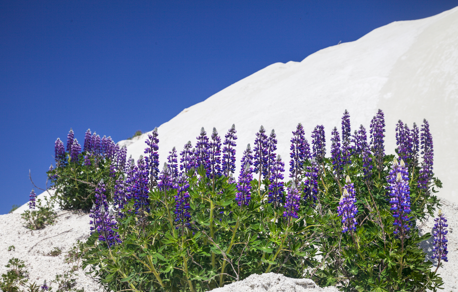 Close-up of lupins on sand