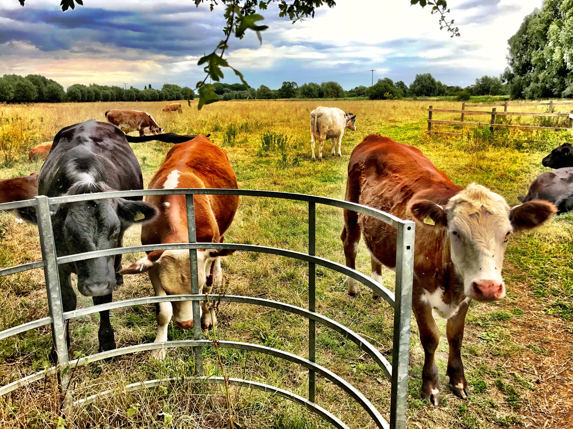 Cows at gate | mezmic, cow, agriculture, livestock