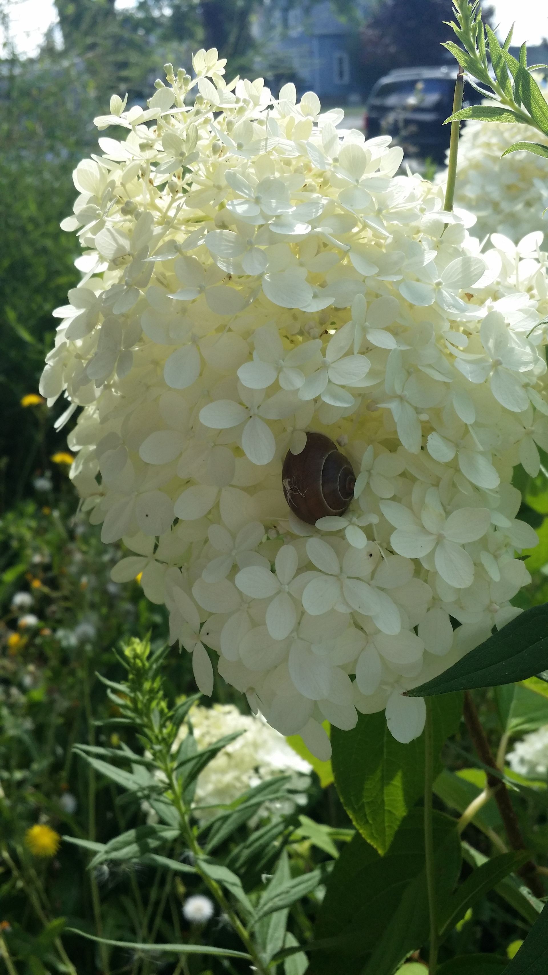 snail. snail in a flower