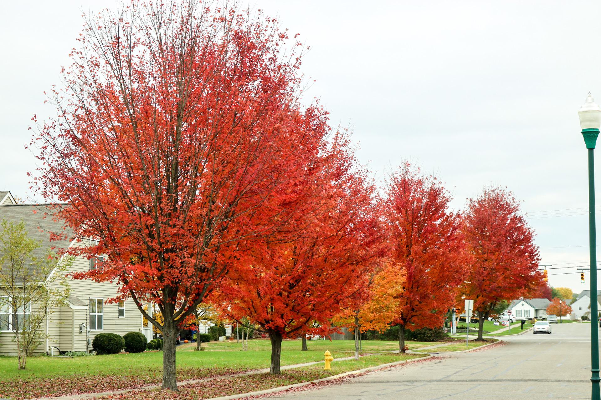 Red | livingston2096, fall, tree, leaf