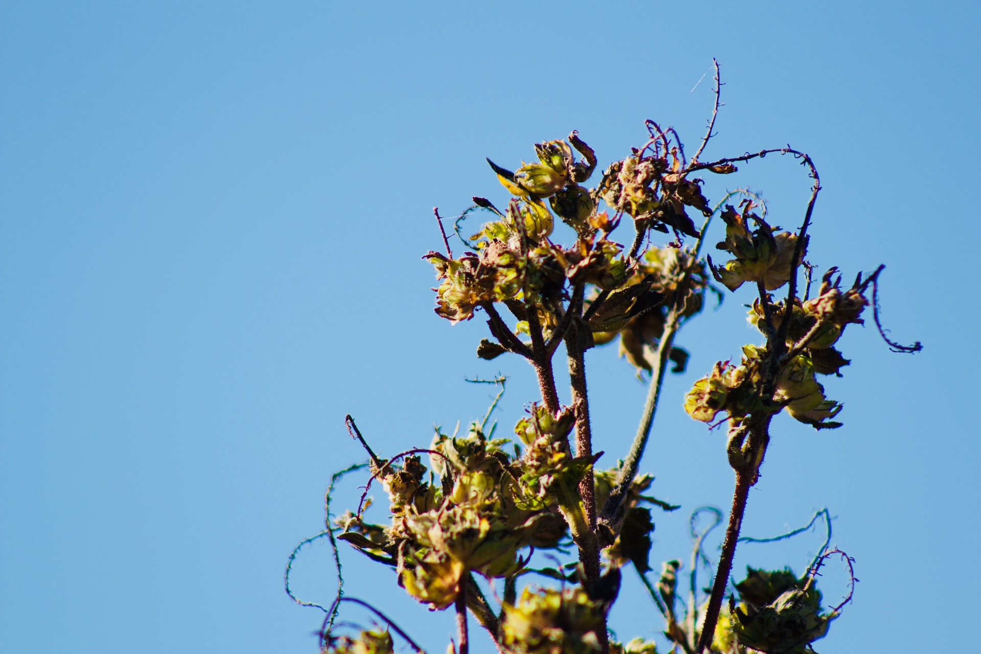 Dried ragweed with delicate tendrils against a clear, blue, autumn sky