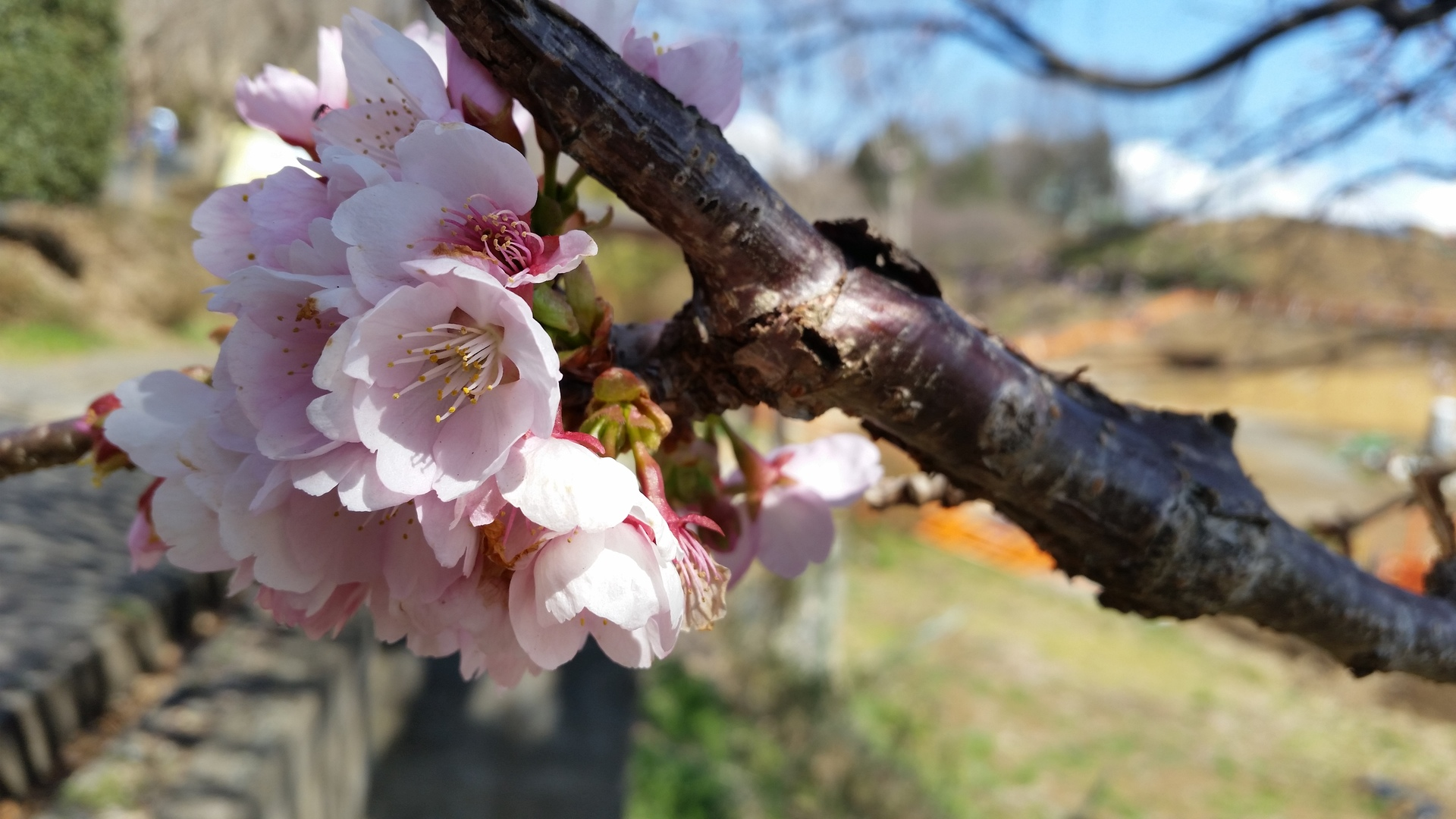 Cherry blossome | present4_u, blooming, branch, flora