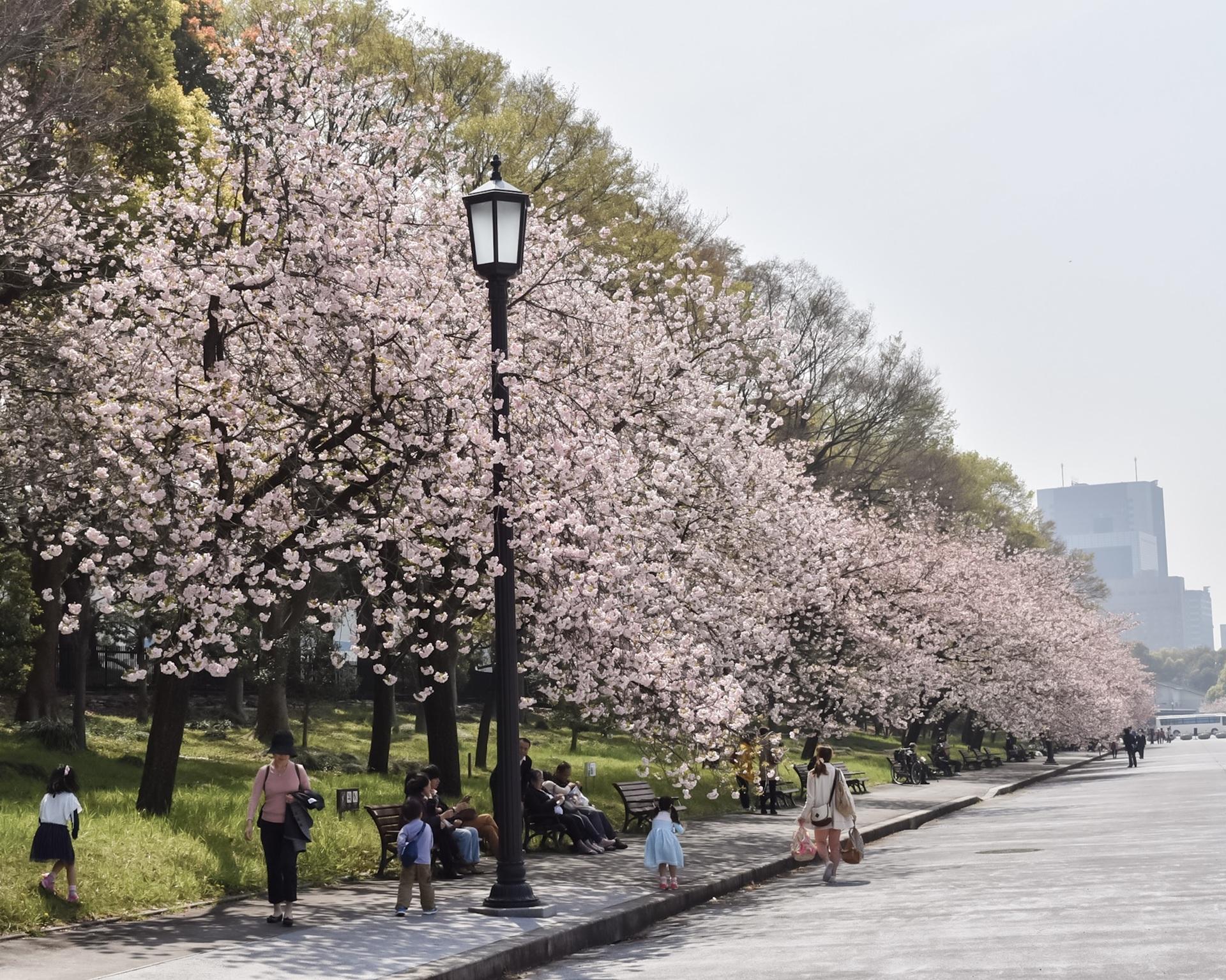 Tokyo | tree, springtime, season, road