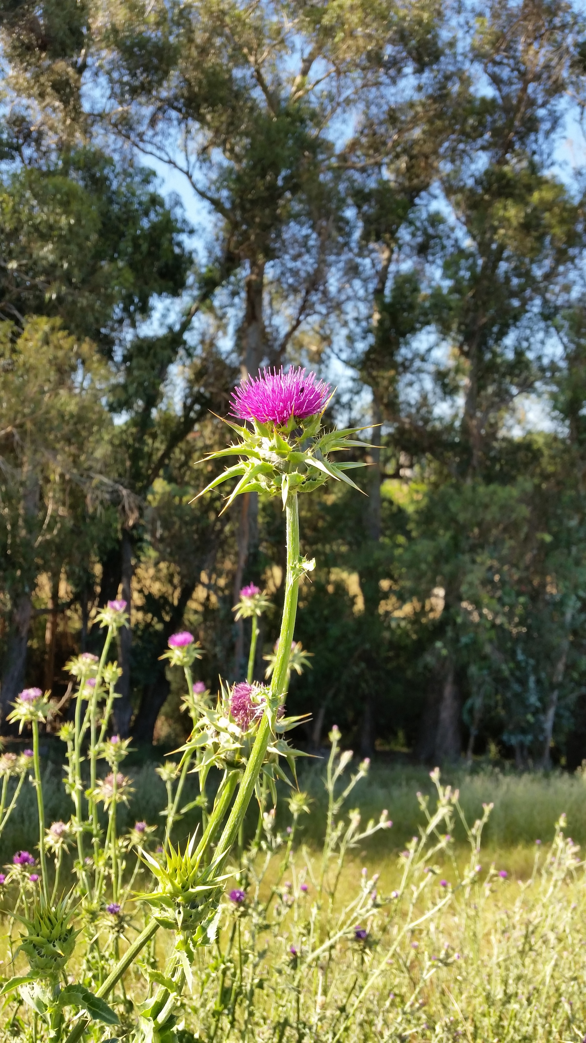 Thistle, weed with pink thorny flowers