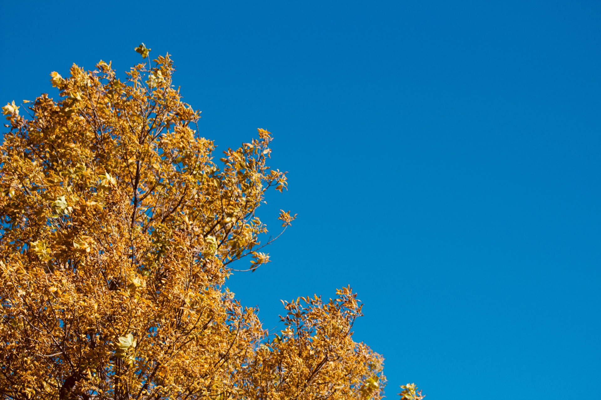 A tree with beautiful cinnamon-colored leaves against a vibrant autumn sky