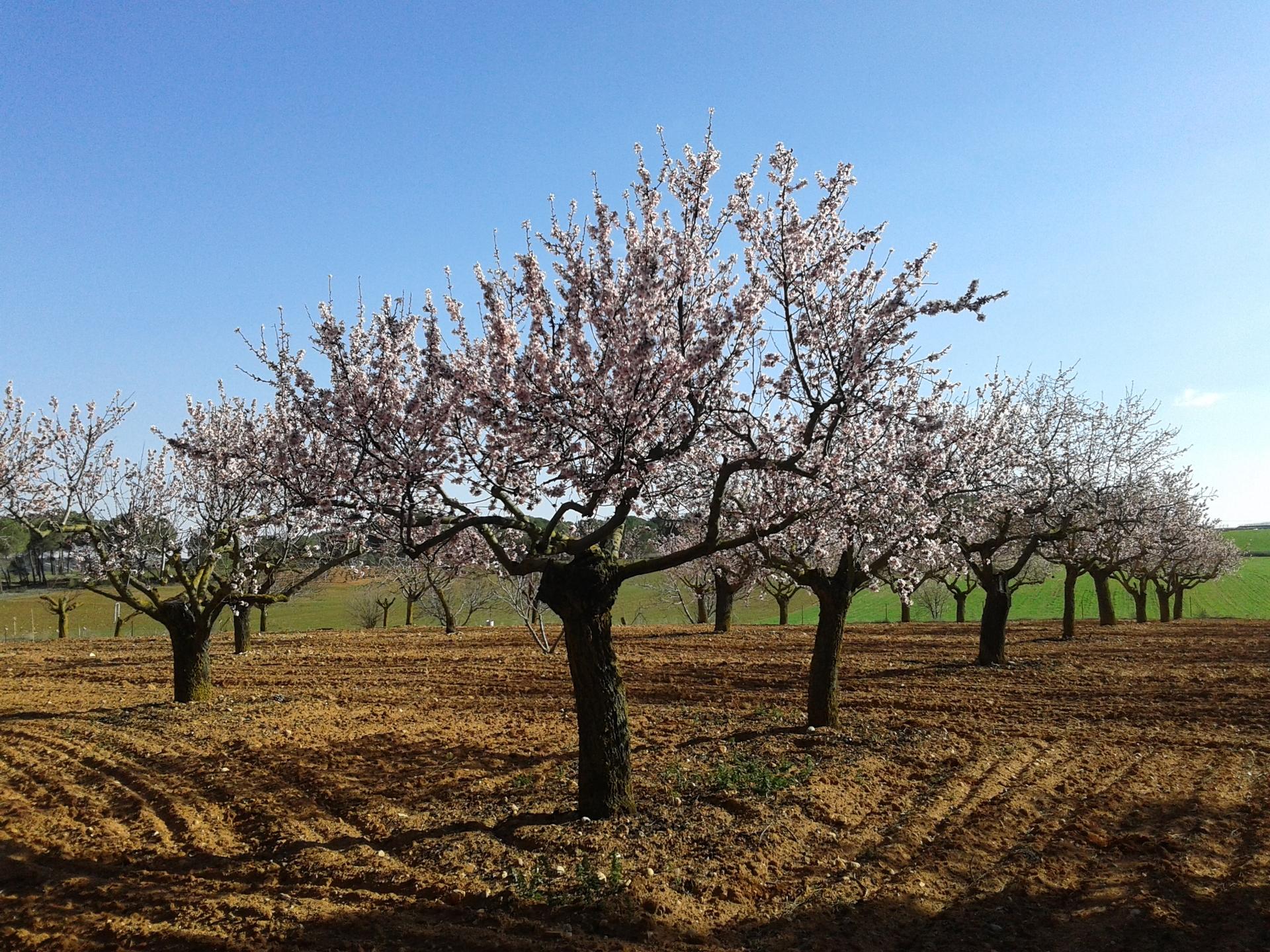 almendros | danielmadrigalmadrigal, springtime, flower, no person