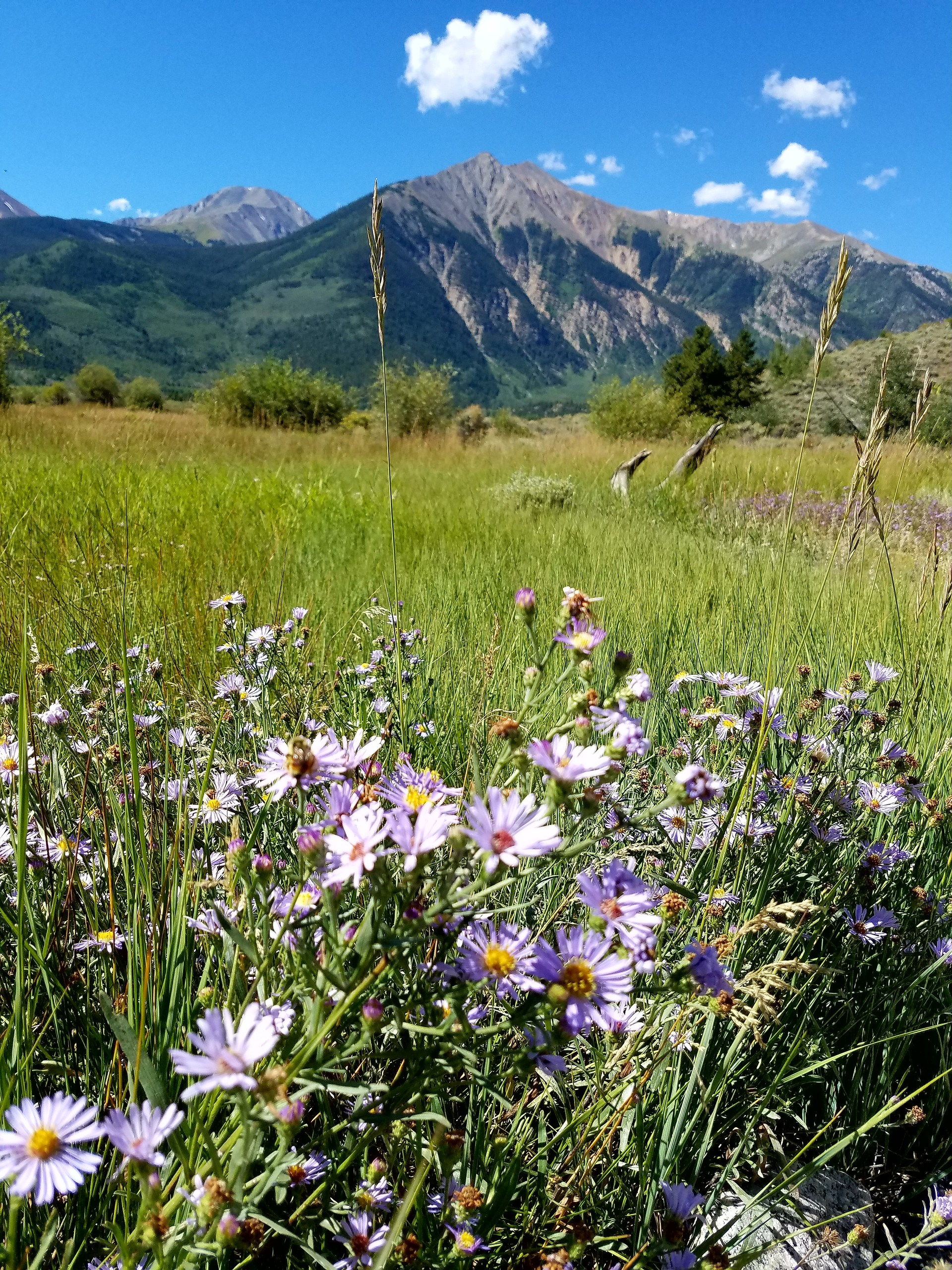 wildflowers in the mountains Colorado