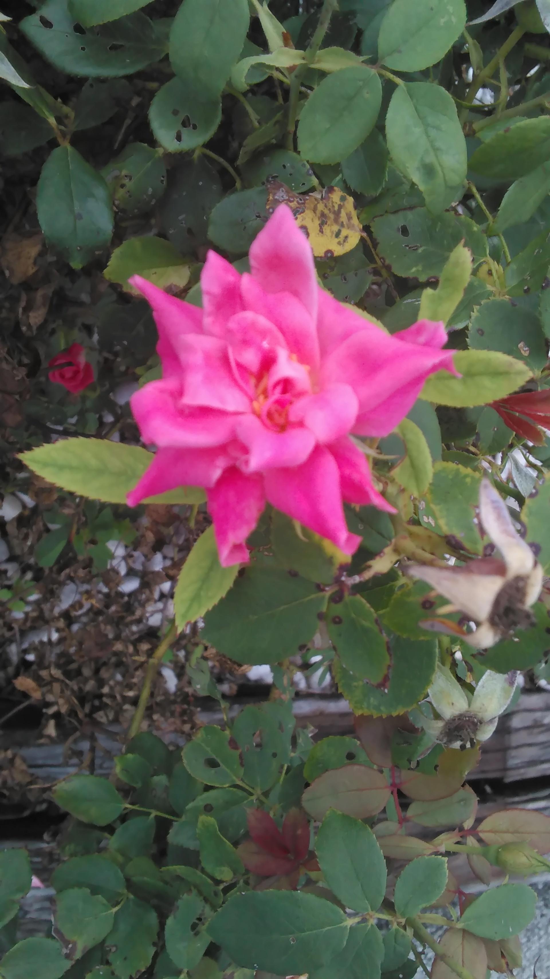 Little Rose | codenamesailorearth, bloom, botany, bush