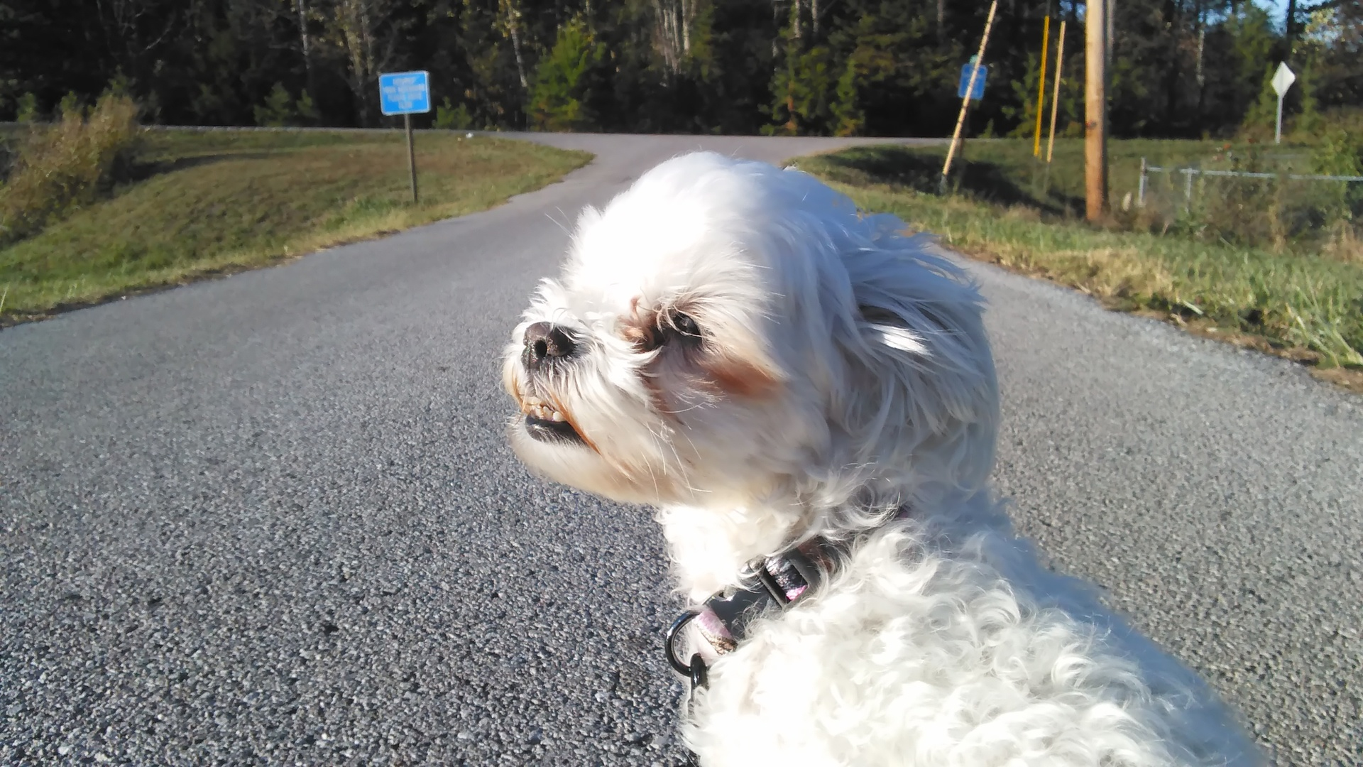 Road Maltese | codenamesailorearth, canine, cute, daytime