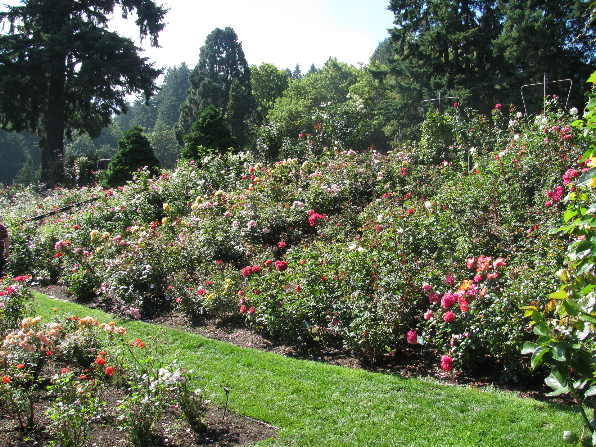 Portland International Rose Test Garden. View inside the garden
