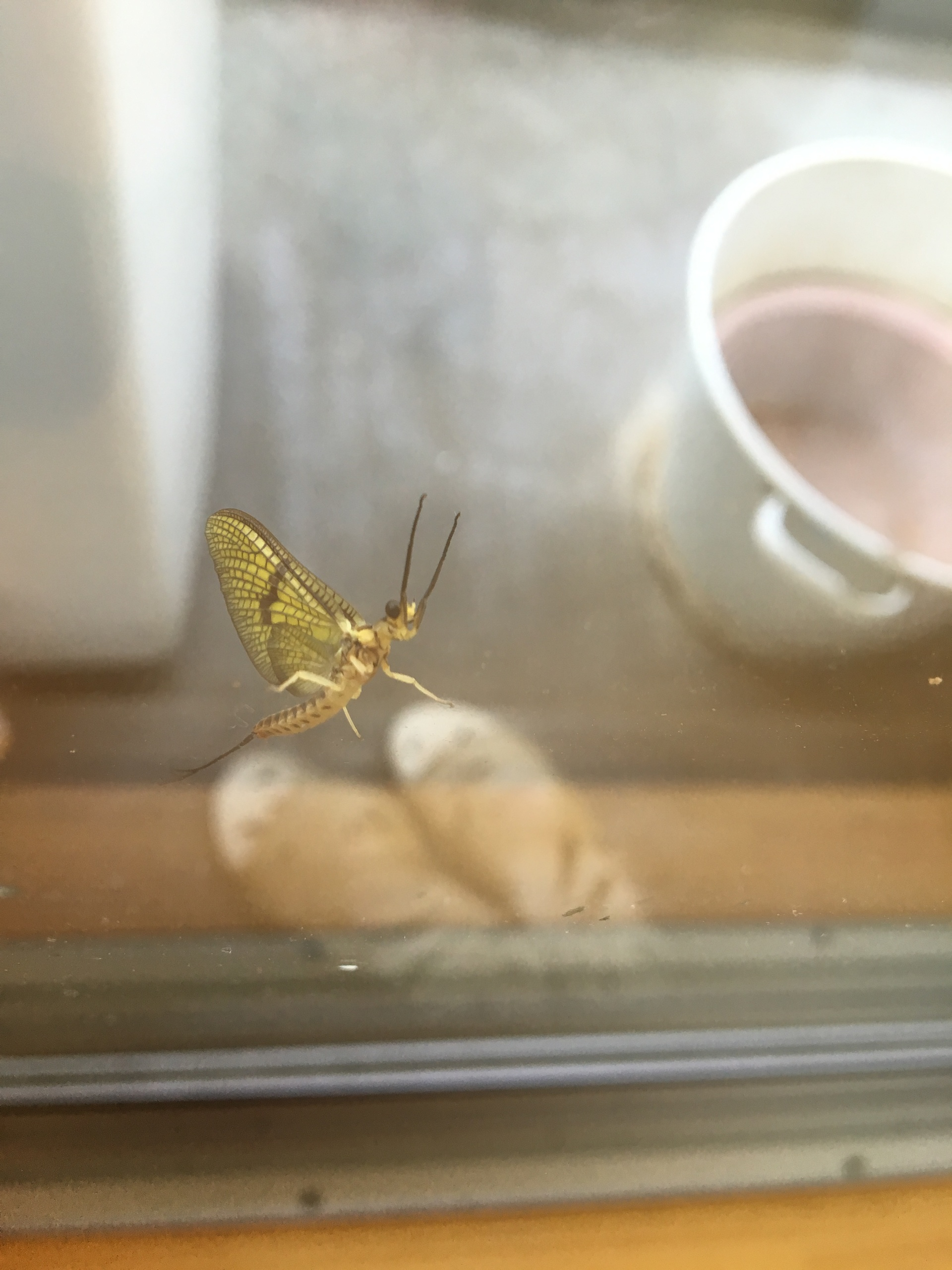 Mayfly perched on the window