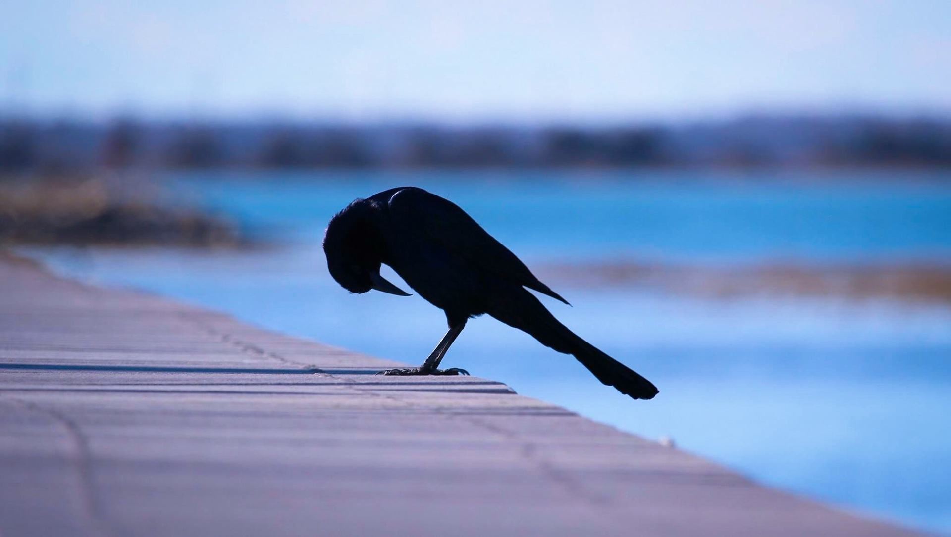 Black bird by the bay, Wildwood, New Jersey